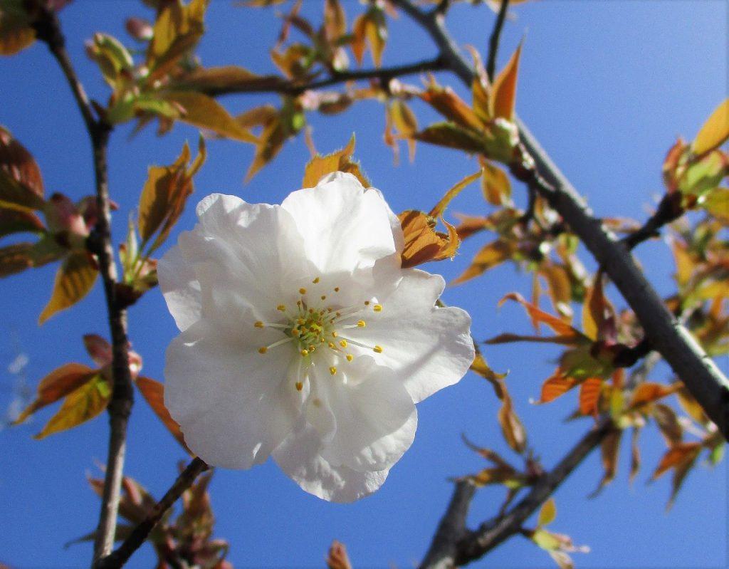 御室仁和寺駅の「御室桜」が開花しました。