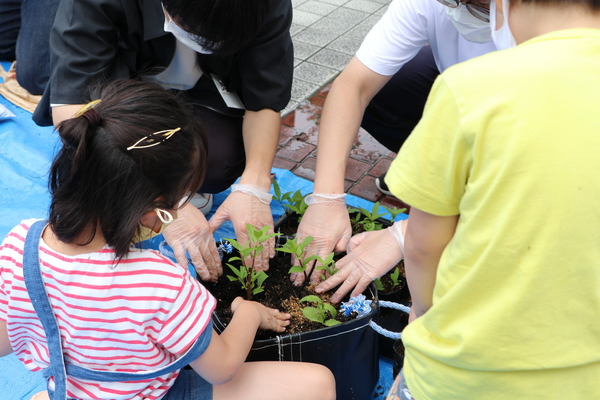 京都府の絶滅寸前種「フジバカマ」を挿し芽で増やそう!